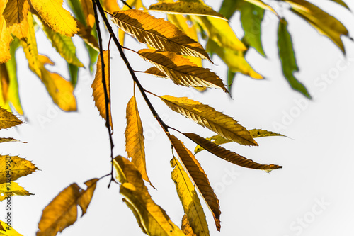 colorful autumn fall season chestnut leaves, creative background pattern with copy space text on white background
