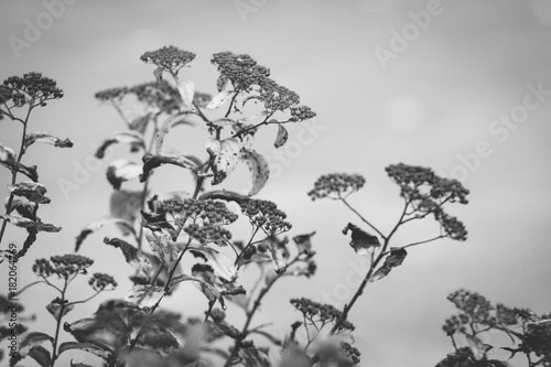 Branch of autumn spirea - 182064769