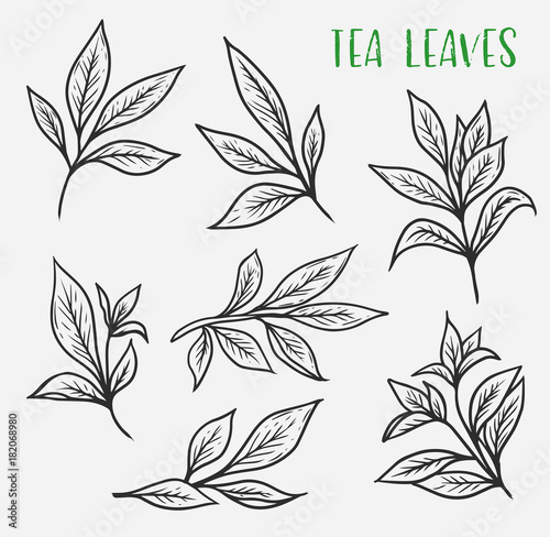 Fototapeta Sketches of green or black tea sprout with leaves