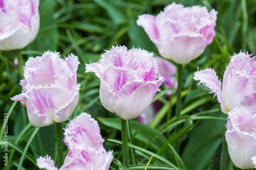 Keuken foto achterwand Purper Pink tulip in the field