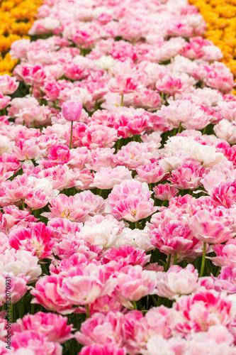 In de dag Candy roze Pink tulip in the field