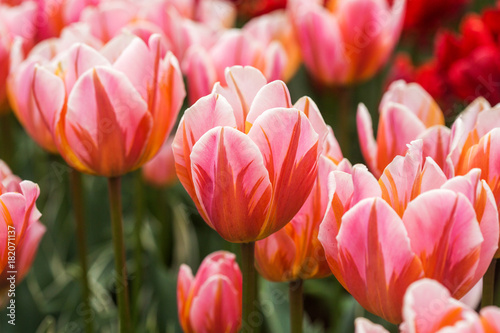 Papiers peints Rouge traffic Pink tulip in the field