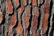 Pine tree bark pattern