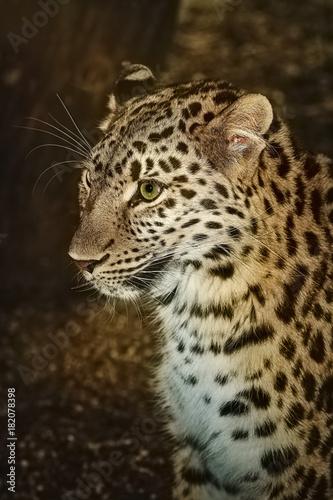 Fototapeta Leopard (Panthera Pardus)