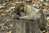 A cute monkey (macaca sylvanus) sleeping on a tree trunk - 182079352