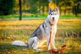Siberian husky dog stands and looks ahead - 182089109
