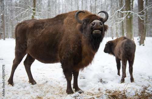 Plexiglas Bison Bison in the winter forest