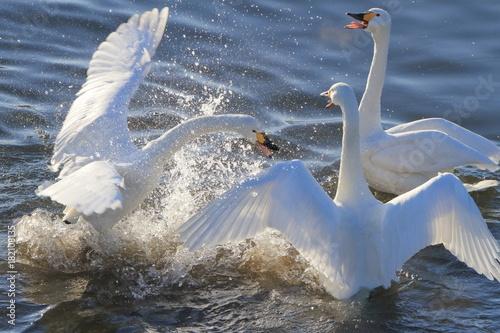 Fotobehang Zwaan ケンカする白鳥 Swan Fight