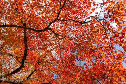 Fotobehang Rood traf. 紅葉の美しい香嵐渓