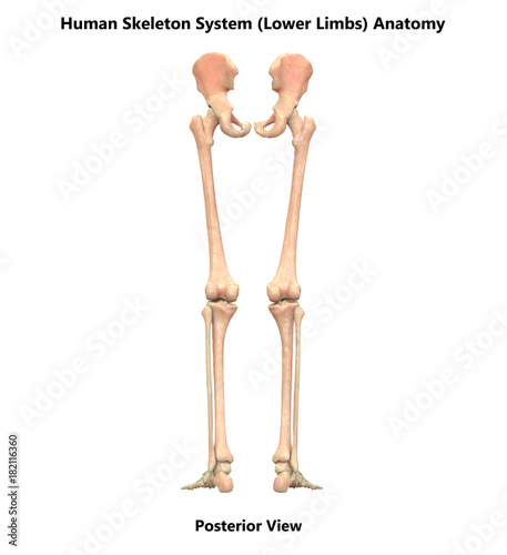 Human Skeleton System Lower Limbs Anatomy Posterior View Buy