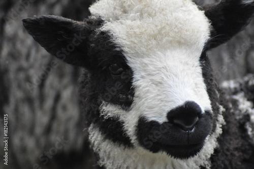 Fotobehang Panda Jacobsheep calf closeup