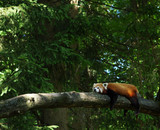 red panda in a tree - 182164100
