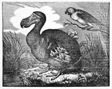 Dodo (Raphus cucullatus), extinct flightless bird, in a swamp, his natural environment. Old Illustration by unidentified author published on Magasin Pittoresque Paris 1834 - 182164152