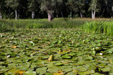 Dense thickets of a water lily.