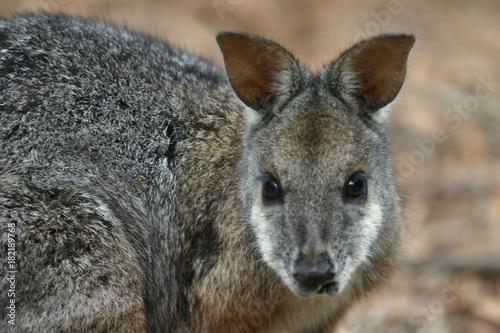 Fotobehang Kangoeroe Wallabie