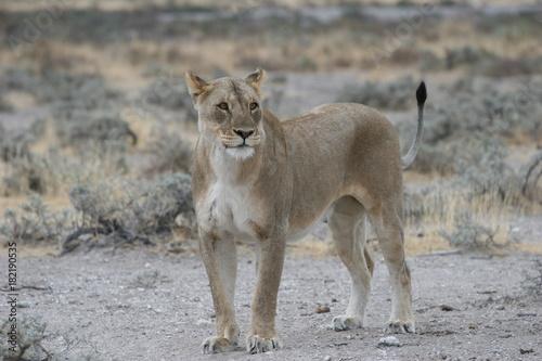 Wild lioness at Etosha National Park, Namibia Poster
