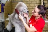 Female groomer brushing standard gray poodle at grooming salon.