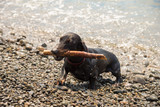 Dachshund carries stick on  pebble beach after swimming in sea
