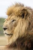 Male Lion Portrait - 182203755
