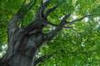 Beech Tree in New Port Rhode Island