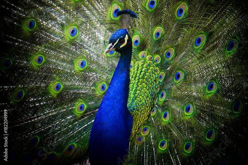 Aluminium Pauw peacock,Pavo cristatus