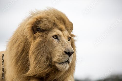 Fotobehang Lion Male Lion Portrait