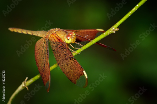 Keuken foto achterwand Vlinders in Grunge Image of Fulvous Forest Skimmer dragonfly(Neurothemis fulvia Drury) on a green branch. Insect. Animal.
