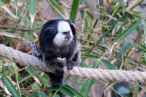 Fotobehang Aap marmoset monkey sitting on rope in trees