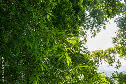 Plexiglas Bamboe grüner wilder Bambus in Nepal