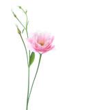 Light pink flower of Eustoma isolated on white background - 182227359