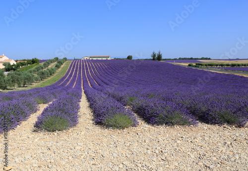 Tuinposter Lavendel champ de lavandin du plateau du Luvéron