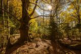 Beech forest - 182237389