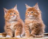 Maine Coon kittens - 182246517
