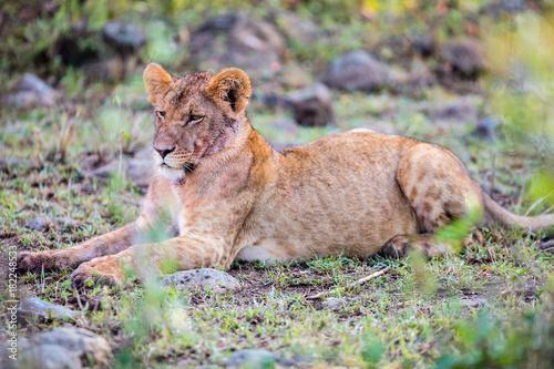 Fotobehang Natuur Young lion in Africa