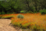 Brightly colored wild flowers, Namaqualand, South Africa. - 182257754
