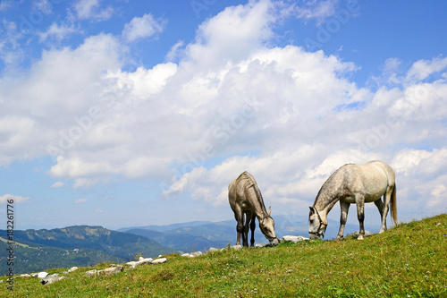 Aluminium Paarden Young horses on the meadow in summer time