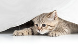 Funny cat catching from under white curtain
