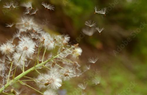 Plexiglas Paardebloemen Dandelion blowing into wind.