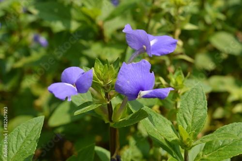 Plexiglas Iris Purple Flower