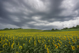 Sunflower field with cloudy sky
