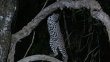 Ocelot (Leopardus pardalis) at night  climbing in tree, Pantanal wetlands, Brazil. Low angle tracking shot - 182270710