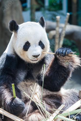 Fotobehang Panda Giant panda eating bamboo