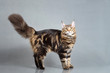 Maine Coon kitten standing with furry tail, Black Tabby Blotched color, 6 months old. Studio photo of striped kitty. Beautiful young cat on grey background.