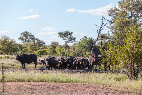 In de dag Zalm Cape Buffalo at Watering Hole