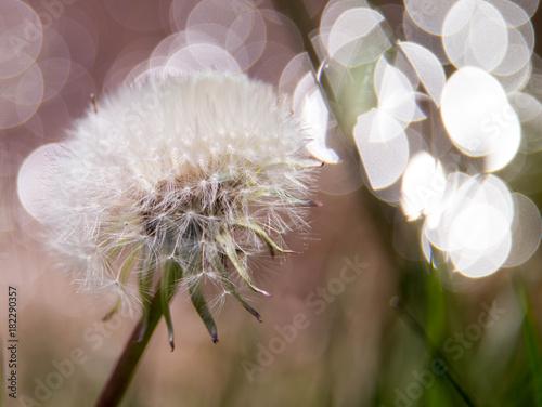 Plexiglas Paardebloemen Pusteblume