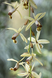 Fototapety brown and white orchid flowers of species coelogyne massangeana