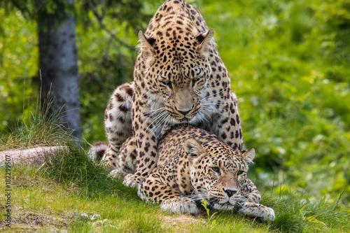 Fototapeta Leopards mating