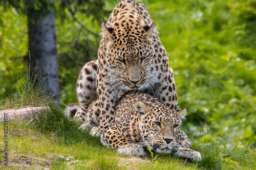 Leopards mating Poster