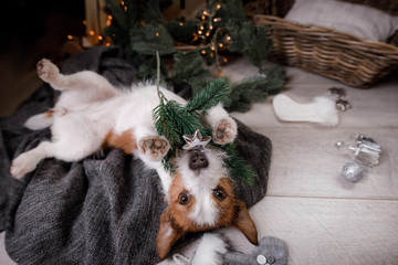 Dog Jack Russell Terrier waiting for the new year