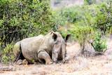 White rhino sleeping with birds